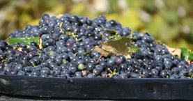 Concord Grape Growers