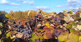 Upstate ny concord grapes