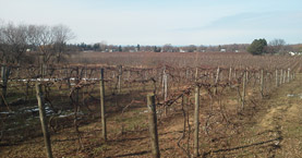 Concord grape farm